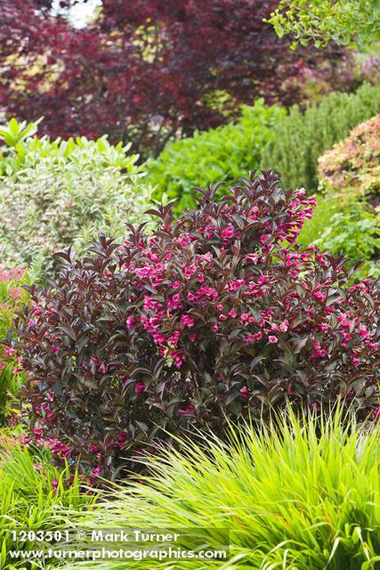 Weigela wine and roses pictures images - Arbustos enanos para jardin ...