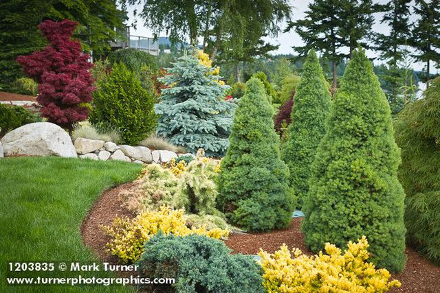1203835 Dwarf Alberta Spruces, Spreading Conifers W/ Blue