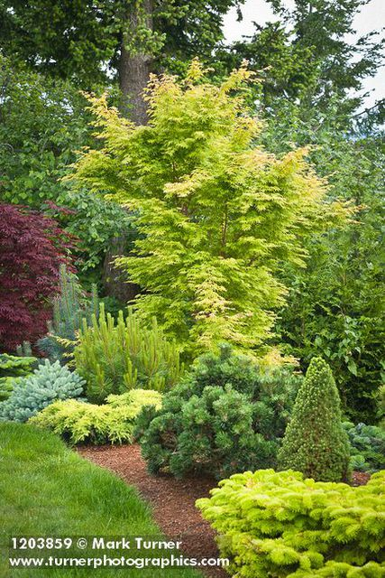 1203859 Japanese Maple, Dwarf Conifers At Edge Of Lawn